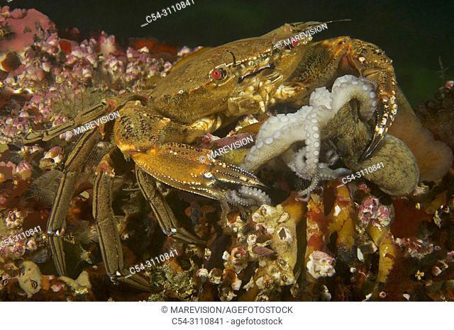 Devil crab. Swimming crab. Velvet fiddler. Velvet Swimming Crab (Necora puber) devouring juvenile Octopus (Octopus vulgaris). Eastern Atlantic