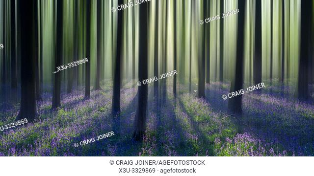Dreamy bluebell woodland sunrise in spring