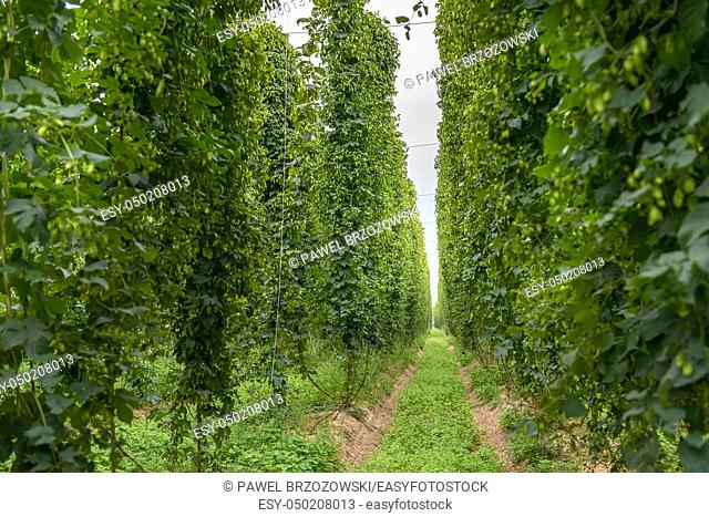 Row of mature hop plants in a hop yard in September