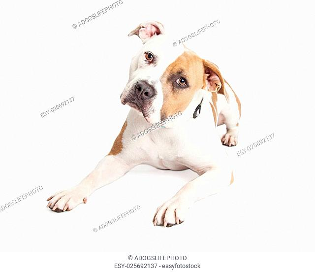 Beautiful tan and white color American Staffordshire Terrier Pit Bull dog laying down and tilting head while looking into the camera