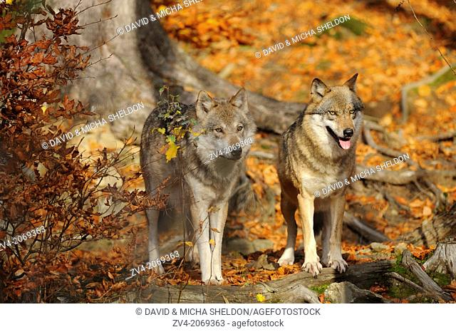 Close-up of two Eurasian wolves (Canis lupus lupus) in autumn in the bavarian forest