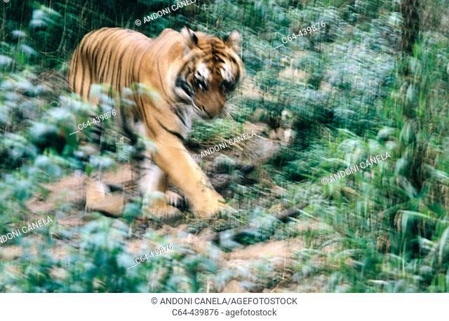 Tiger (Panthera tigris) . Fauna reserve. Java. Indonesia