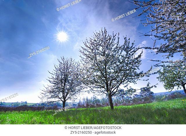 The fruit tree blossom in Ortenau, Baden-Württemberg, Germany