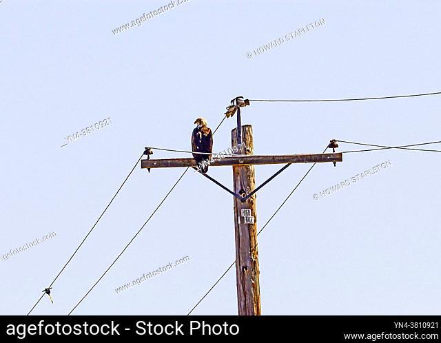 Bald eagle (Haliaeetus leucocephalus) on a utility pole in Northern California