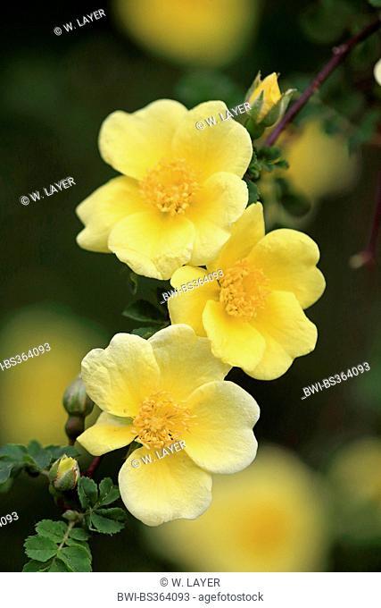 golden rose of china, father hugo rose (Rosa hugonis (Rosa xanthina fo. hugonis)), flowers