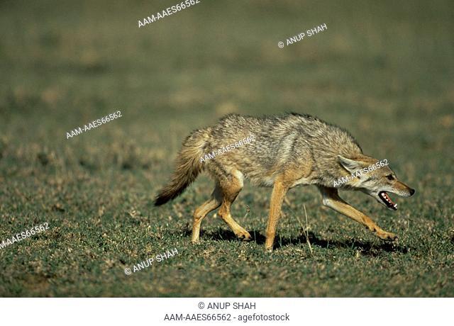 Golden Jackal (Canis aureus) showing submissive behaviour, Ngorongoro Conservation Area, Tanzania