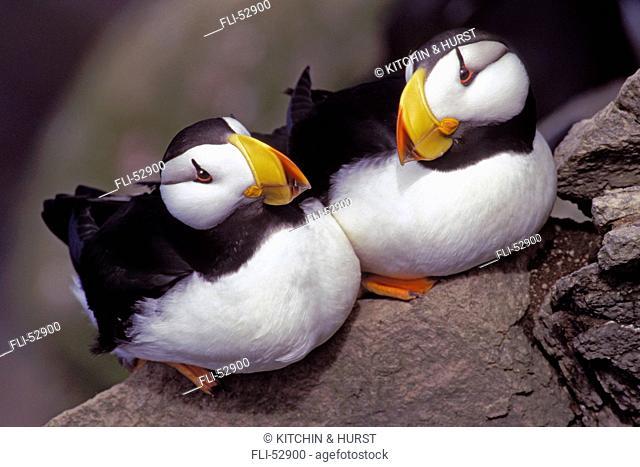 T.Kitchin, 21323D, Horned Puffins, Fratercula Corniculata, Pacific Coast IN USAGE FOLDER JAN.16,2001