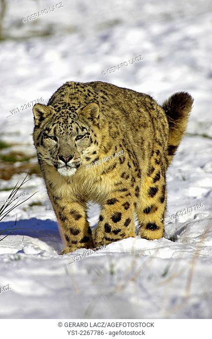 Snow Leopard or Ounce, uncia uncia, Standing in Snow