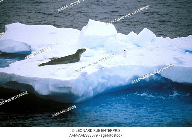 Leopard Seal & Adelie Penguin on Ice Floe Antarctica
