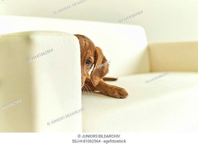 Golden Retriever. Puppy lying on a couch. Germany