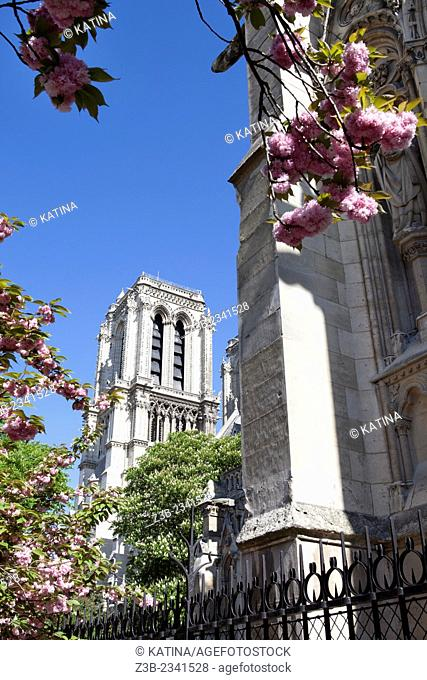 View of Notre Dame Cathedral through cherry blossoms in spring from Notre Dame Park, Ile de la Cite, Paris, France