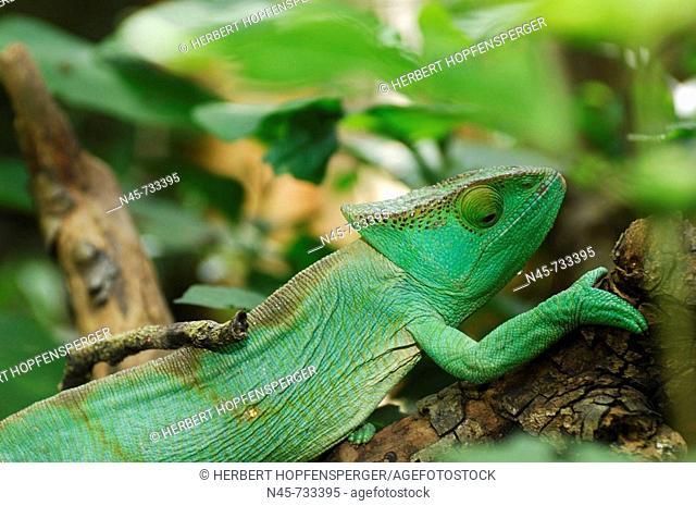 Panther Chameleon (Calumma parsonii), female