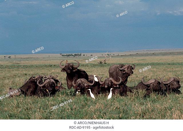 Cape Buffaloes and Cattle Egrets, Massai Mara Game Reserve, Kenya, Syncerus caffer