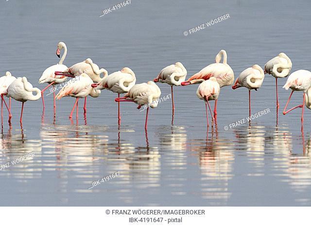 Greater Flamingos (Phoenicopterus roseus), sleeping on one leg, Lake Nakuru National Park, Kenya