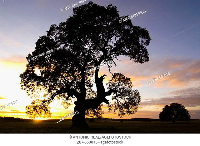 Centennial oak tree at sunset (Quercus ilex). Almansa, Albacete province, Spain
