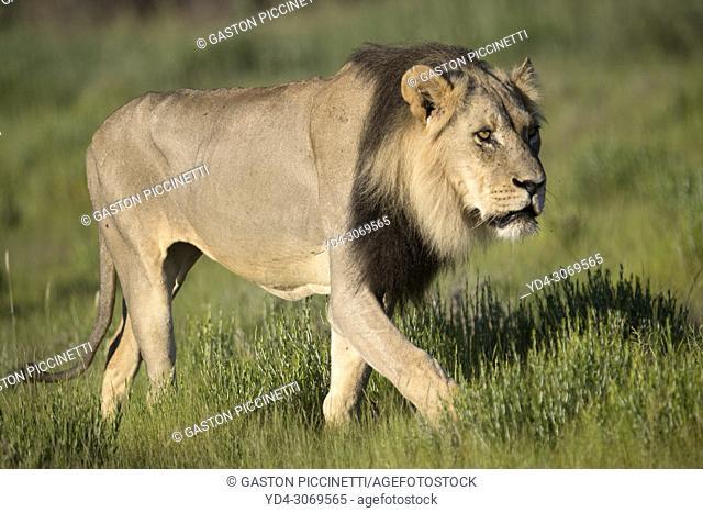 African lion (Panthera leo) -Male, Kgalagadi Transfrontier Park, Kalahari desert, South Africa/Botswana.