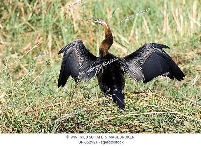 African Darter or Snakebird (Anhinga rufa), Chobe River, Chobe National Park, Botswana, Africa
