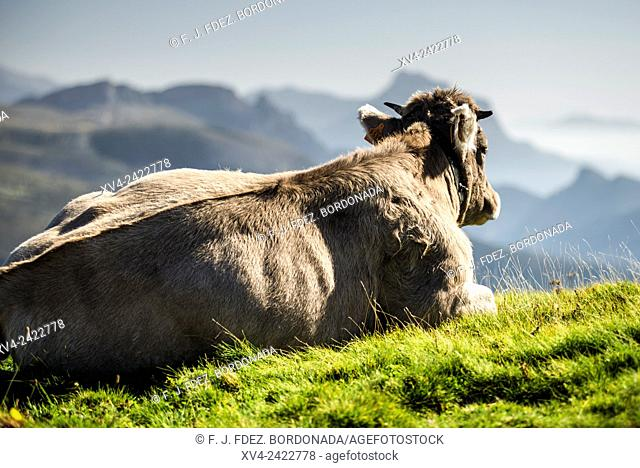 Standed Cow at Añisclo Valley near of Ordesa and Monte Pedrido National Park, Huesca Pyrenees, Aragon, Spain