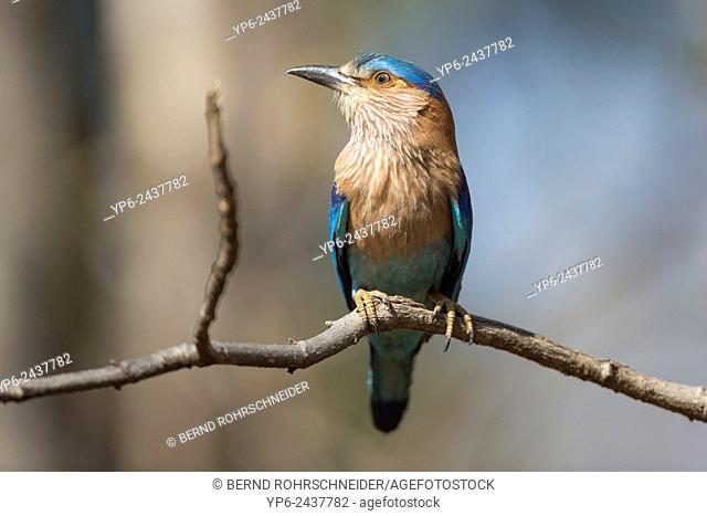 Indian roller (Coracias benghalensis) sitting on branch, Pench National Park, Madhya Pradesh, India