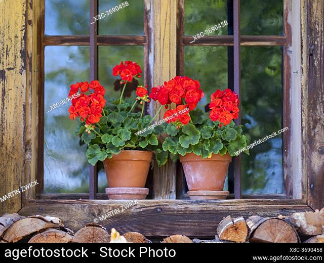 Flowerpot in the window of a historic wooden farmhouse. Open Air Museum Finsterau, Bavarian Forest, Germany, Europe