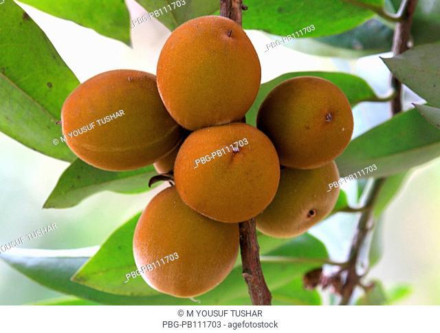 Mangosteen fruit, bangeli naame gab Laxmipur, bangladesh