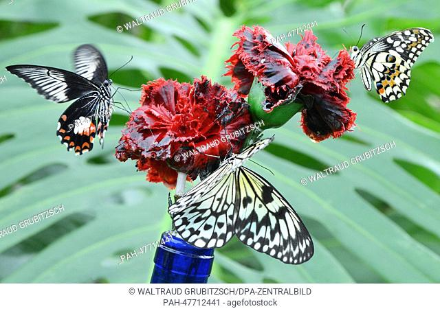 Butterflies fly in the butterfly park Alaris in Wittenberg, Germany, 26 March 2014. The park displays more than 140 butterfly species
