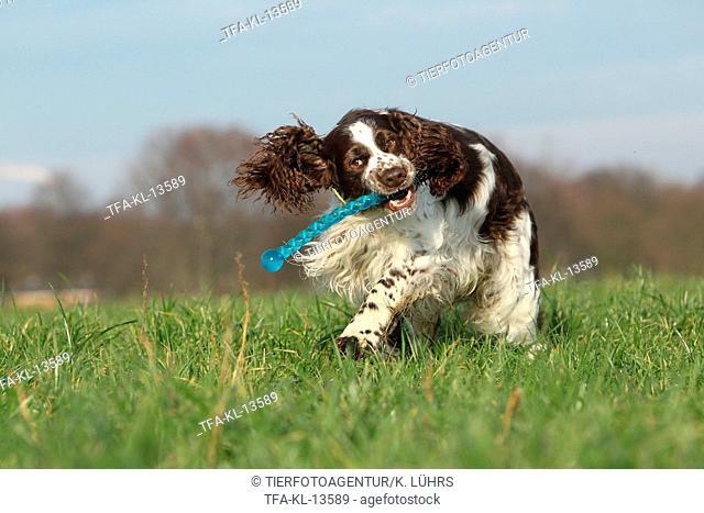playing English Springer Spaniel
