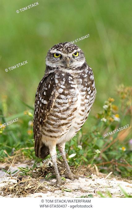 Burrowing Owl, Athene cunicularia, Florida, USA