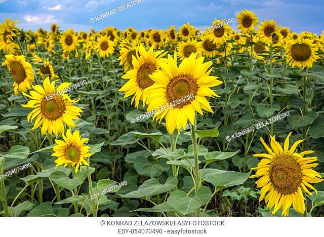 Sunflowers on large field in Moldova