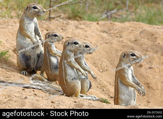 Cape ground squirrels (Xerus inauris), two adults with young, looking out from the burrow entrance, alert, Kgalagadi Transfrontier Park, Northern Cape