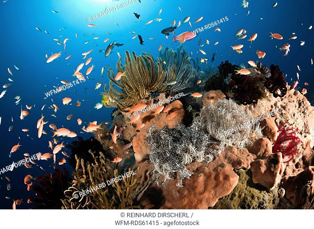 Anthias over Coral Reef, Pseudanthias squamipinnis, Amed, Bali, Indonesia