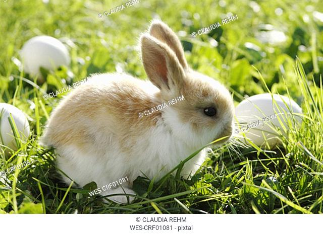 Rabbit sitting in meadow, close-up