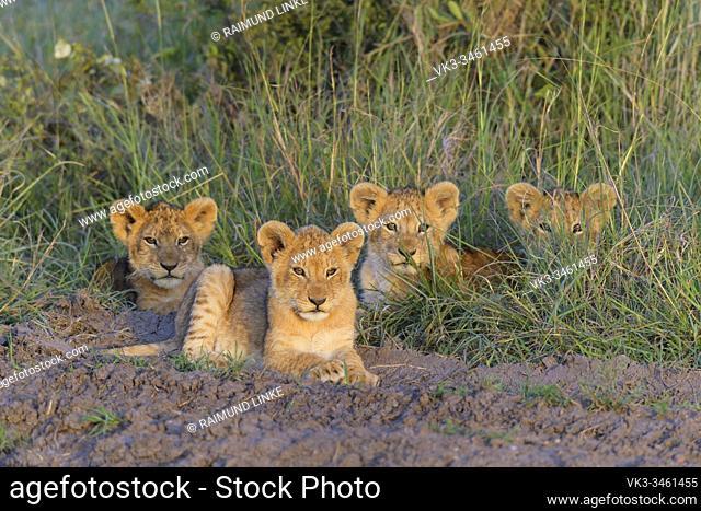 African lion, Panthera Leo, cubs, Masai Mara National Reserve, Kenya, Africa