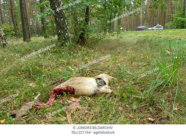 European Roe Deer (Capreolus capreolus) killed by wolves near a country road (first day after kill). Oberlausitz, Saxony, Germany