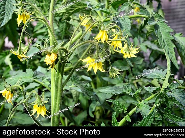 In the greenhouse bloom plant tomatoes with lots of yellow flowers