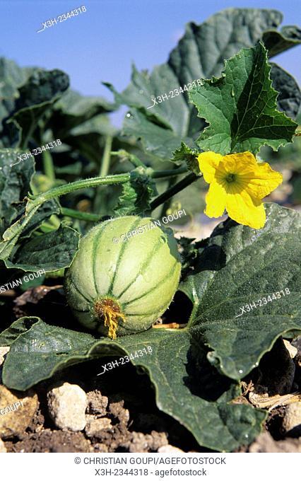 melon and flower, Haut-Poitou province, Vienne department, Poitou-Charentes region, France, Europe