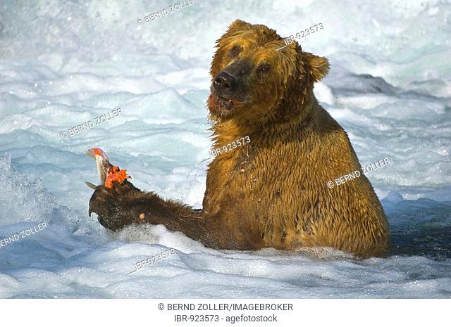 Brown Bear (Ursus arctos) with a caught salmon, Brooks River, Brooks Falls, Katmai National Park, Alaska, USA, North America