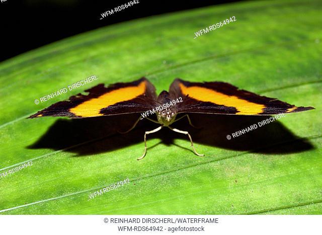 Australien Lurcher Butterfly, Yoma sabina, Queensland, Australia