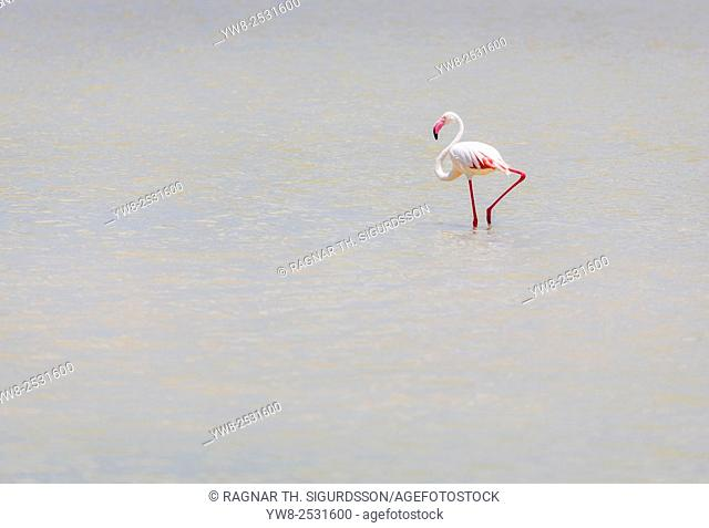 Flamingo in the water, Twyfelfontein Country Lodge, Namibia, Africa