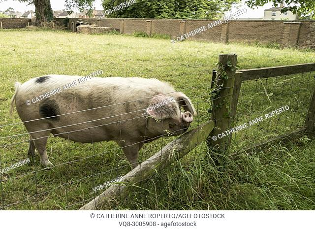 Black spotted sow with floppy ears and upturned snout sniffing the air behind a fence in Gloucestershire, England