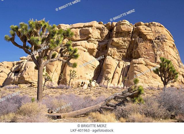 Joshua tree and rock at Hidden Valley at Joshua Tree National Park, Mojave Desert, California, USA, America