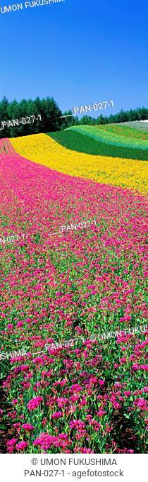 Field of Flowers, Nakafurano, Hokkaido, Japan