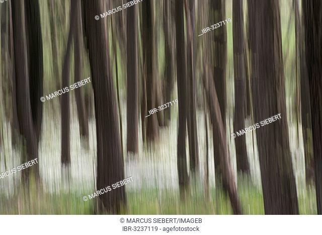 Forest in spring with wood anemones (Anemone nemorosa)