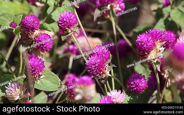 Flowerbed with globe amaranth (Gomphrena globosa), an edible plant from the family Amaranthaceae with round-shaped flower inflorescences