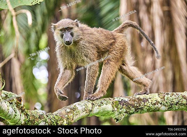 Olive baboon (Papio hamadryas anubis) juvenile in a tree. Kibale National Park, Uganda, AfricaKibale National Park, Uganda, Africa