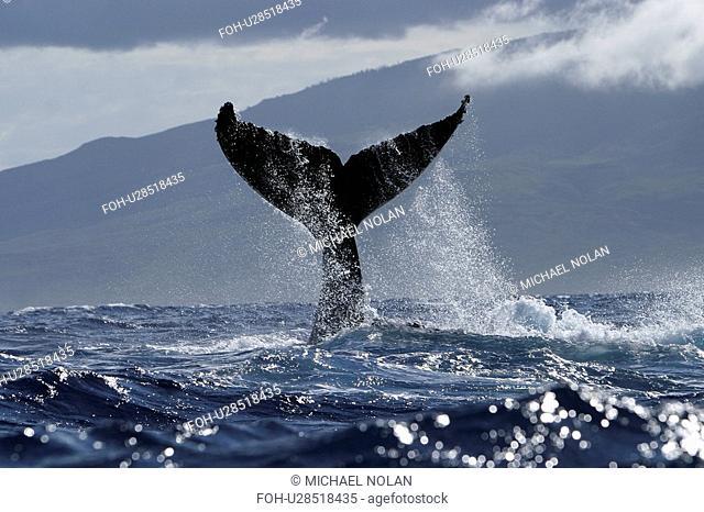 Humpback Whale Megaptera novaeangliae Tail-lobbing, Auau Channel, Hawaii, North America