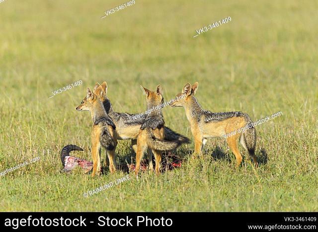 Black-backed Jackal, Canis mesomelas, group on kill, Masai Mara National Reserve, Kenya, Africa