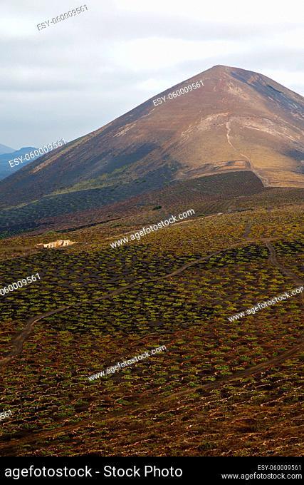 cultivation home viticulture winery lanzarote spain la geria vine screw grapes wall crops barrel