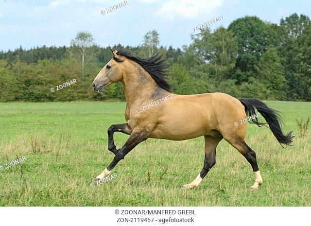 Lusitano Hengst im Galopp auf der Koppel / Lusitano horse stallion galloping in the field