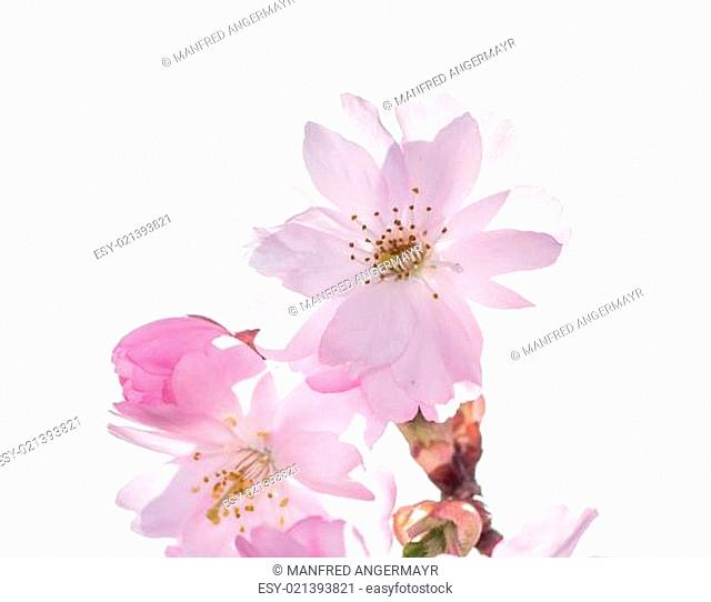 Isolated Pink Cherry Blossoms
